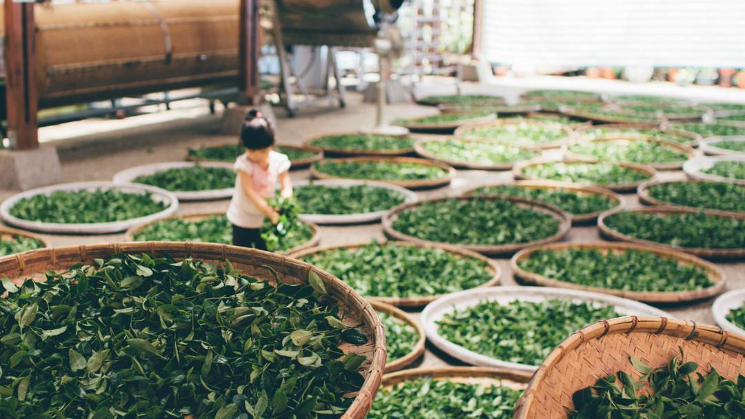 young girl, green tea drying in circular trays